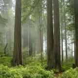 Redwood National and State Parks, California<br />photo credit: Wikipedia